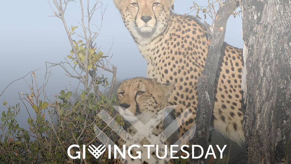 GivingTuesday and International Cheetah Day with Chantecaille