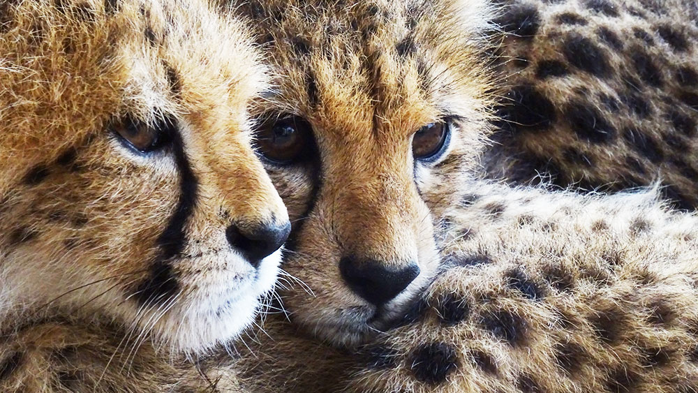 The Cheetah Conservation Fund announces major victory with conviction of two cheetah smugglers in Somaliland