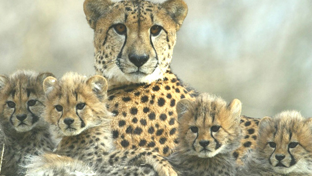 New Ways to Help Identify Kidney Disease in Cheetahs