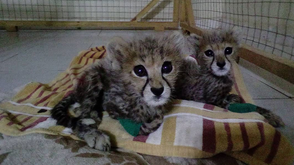 Cheetah Conservation Fund Rescues Two Cheetah Cubs in Somaliland During COVID-19 Pandemic