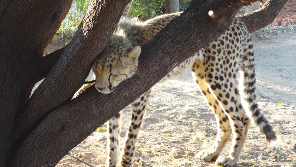 How Cheetahs Check Their Messages?