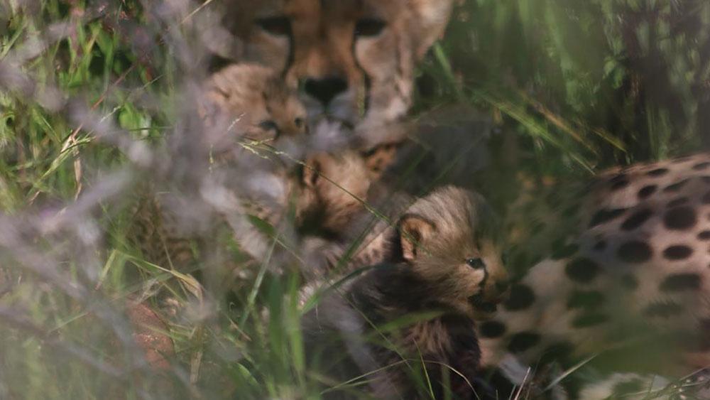 Chewbaaka's Wild Cheetah Challenge