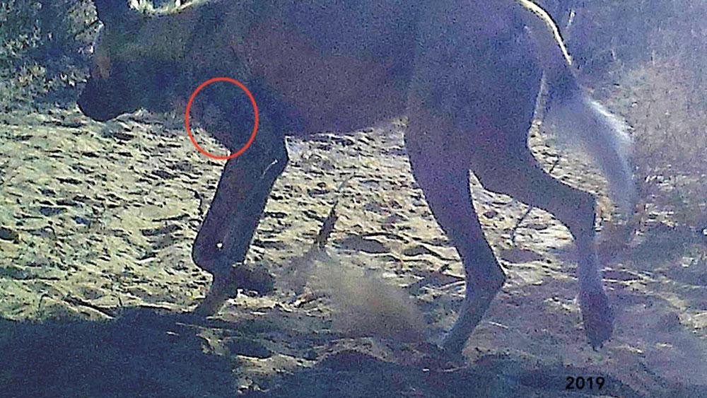 African Wild Dog ID