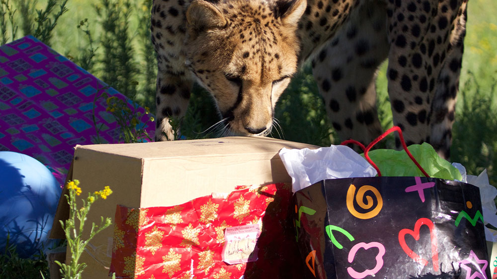 The Cheetahs Have a Holiday Wishlist…