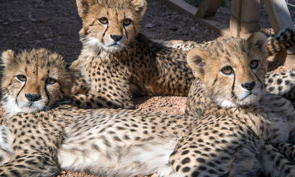 Cheetah Conservation Fund Issues a Call to End Cheetah Trafficking to Mark 10th International Cheetah Day, 4 December