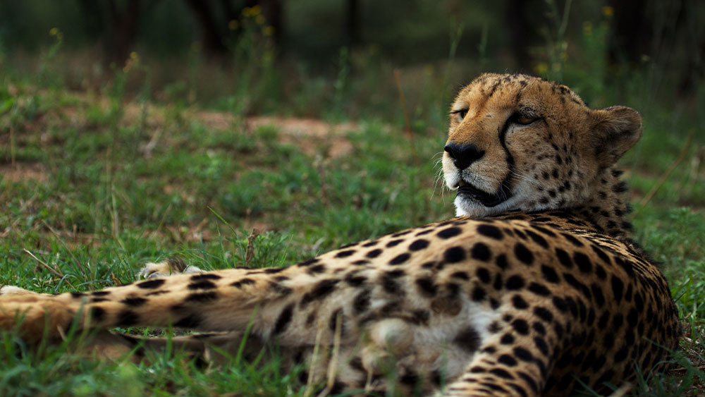 Eulogies for Two Resident Cheetahs – Livingstone and Blondeman (Shunga)