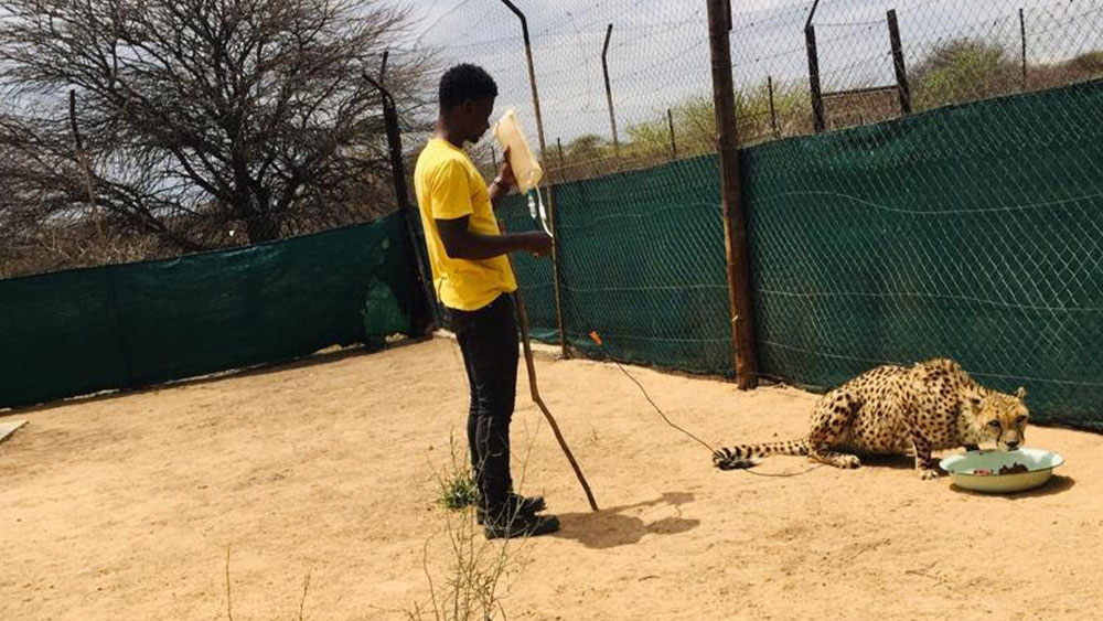 Cheetah Husbandry Experience