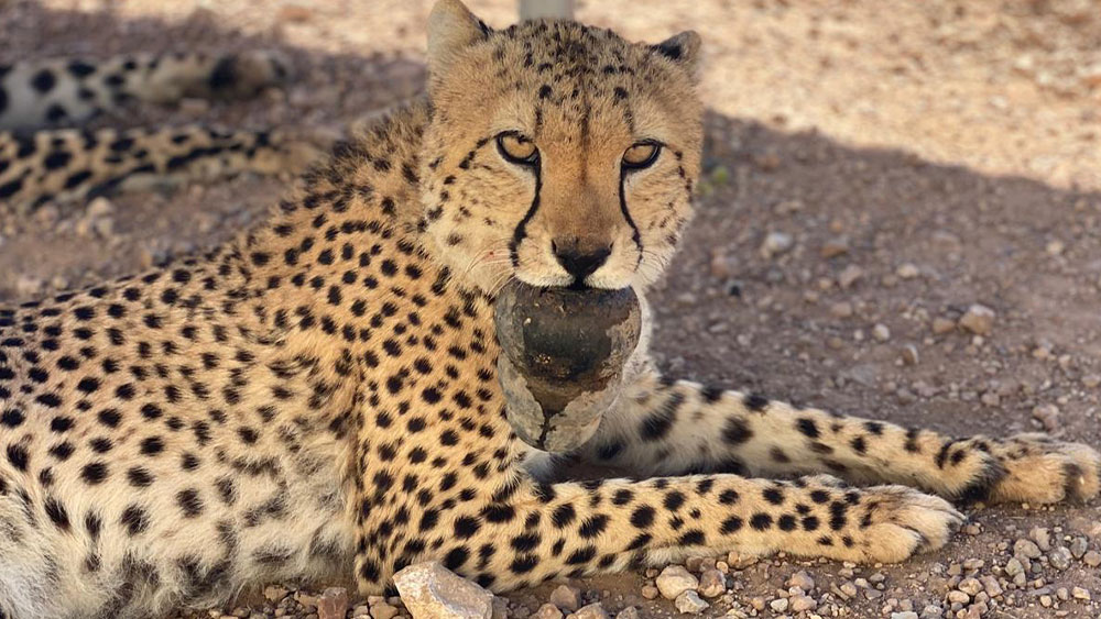 KONG: King of the Toys for Cheetah Conservation Fund