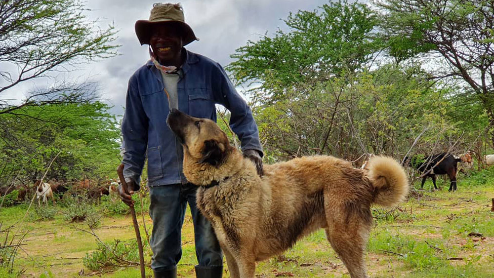 Dogs Saving Cheetahs: 25 Years of Livestock Guarding Dog Success