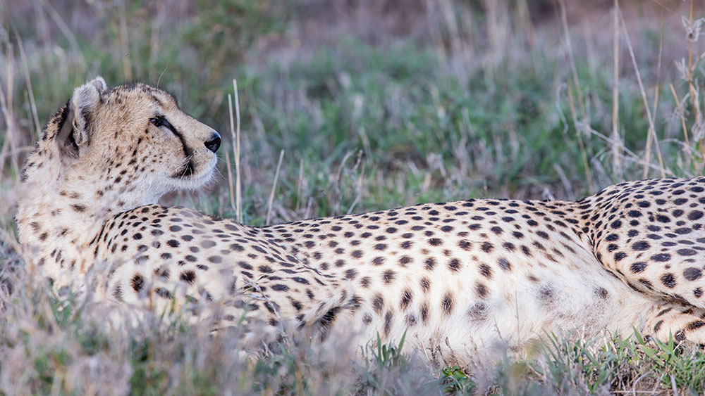 Why Helping People Is Key to Saving the Endangered Cheetah