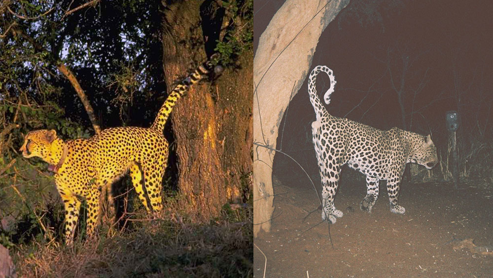 Leopard and Cheetah Scent Marking Strategies Revealed
