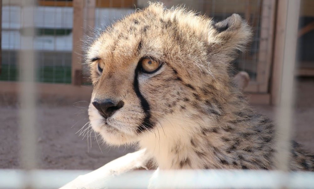 With Fewer Than 500 Cheetahs Remaining in the Horn of Africa, Cheetah Conservation Fund Launches Campaign to END Cheetah Trafficking