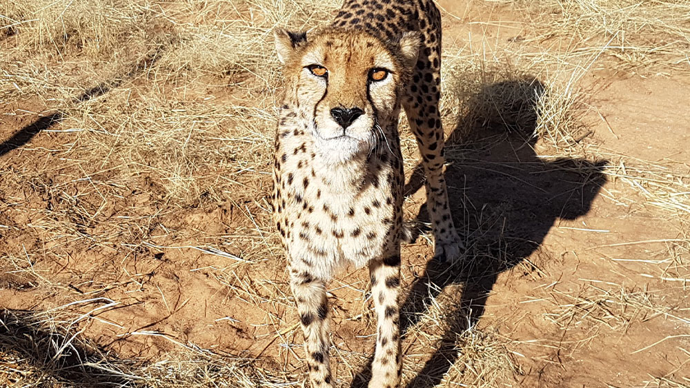 Eulogy for Resident Cheetah Bella