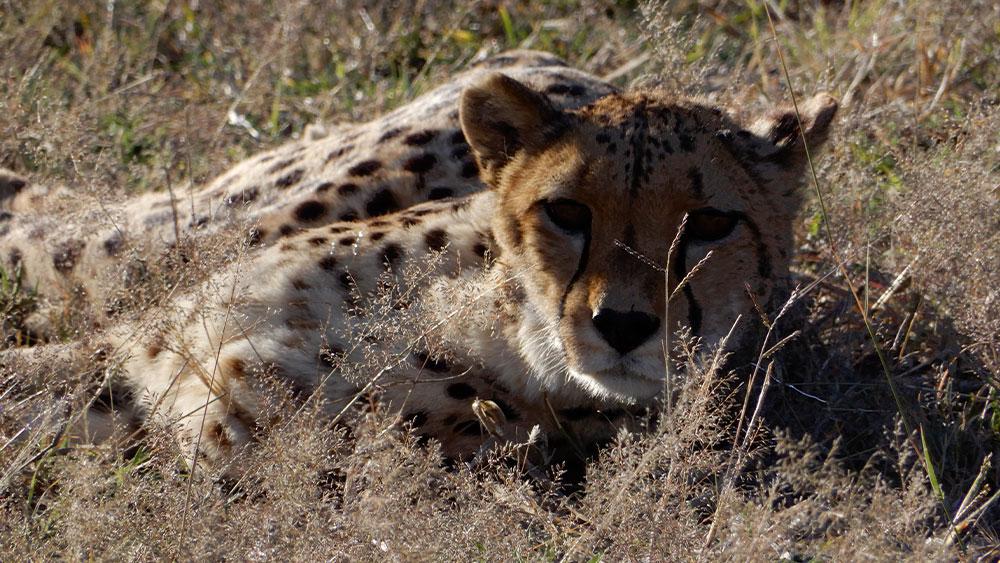 Eulogy for Resident Cheetah Harry