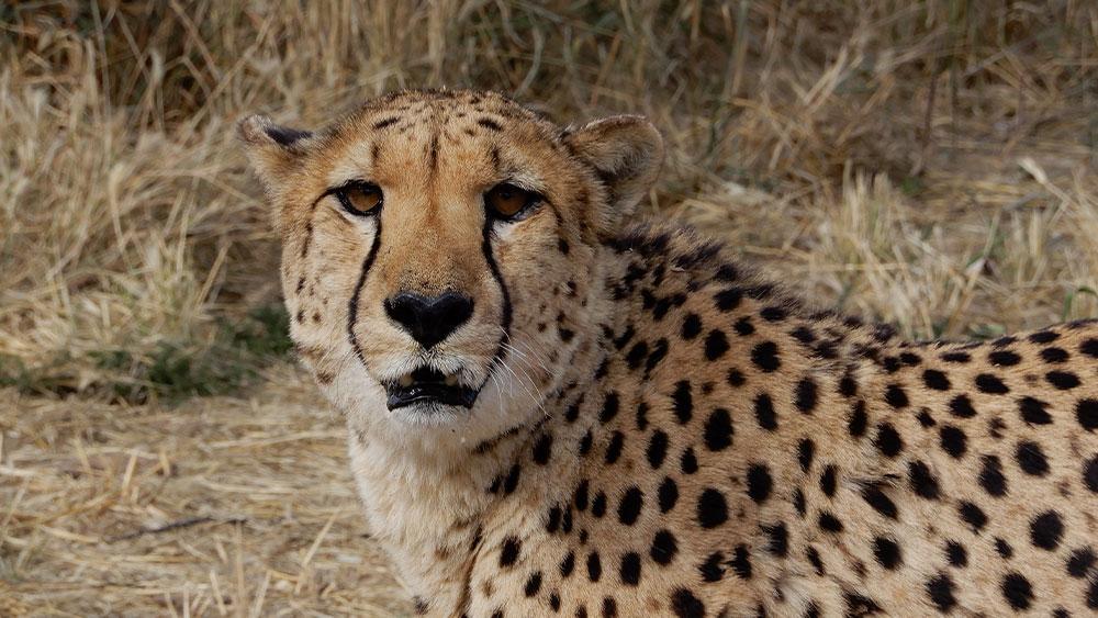 Eulogy for Resident Cheetah Phil