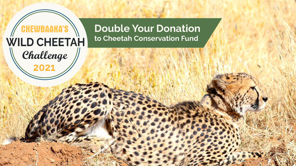 Chewbaaka's Wild Cheetah Challenge – 2021