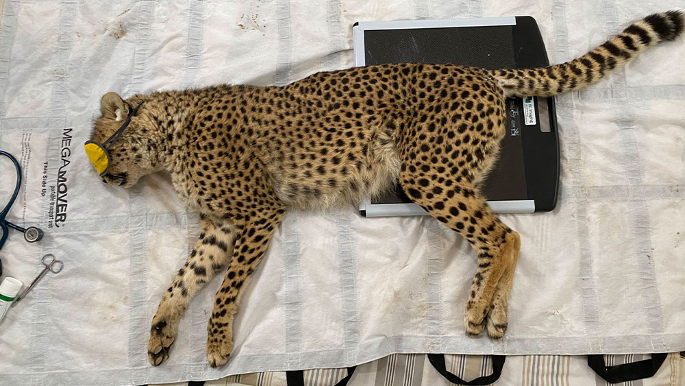 Resident Cheetah Duma Gets Physiotherapy