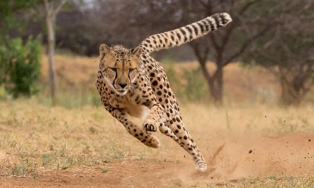 Cheetah Conservation Fund Establishes a Foundation in The Netherlands for Cheetah Conservation: Stichting Cheetah Conservation Fund Nederland