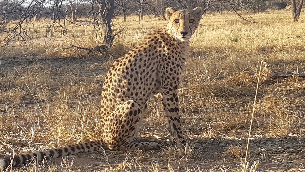 Eulogy for Resident Cheetah Smartman