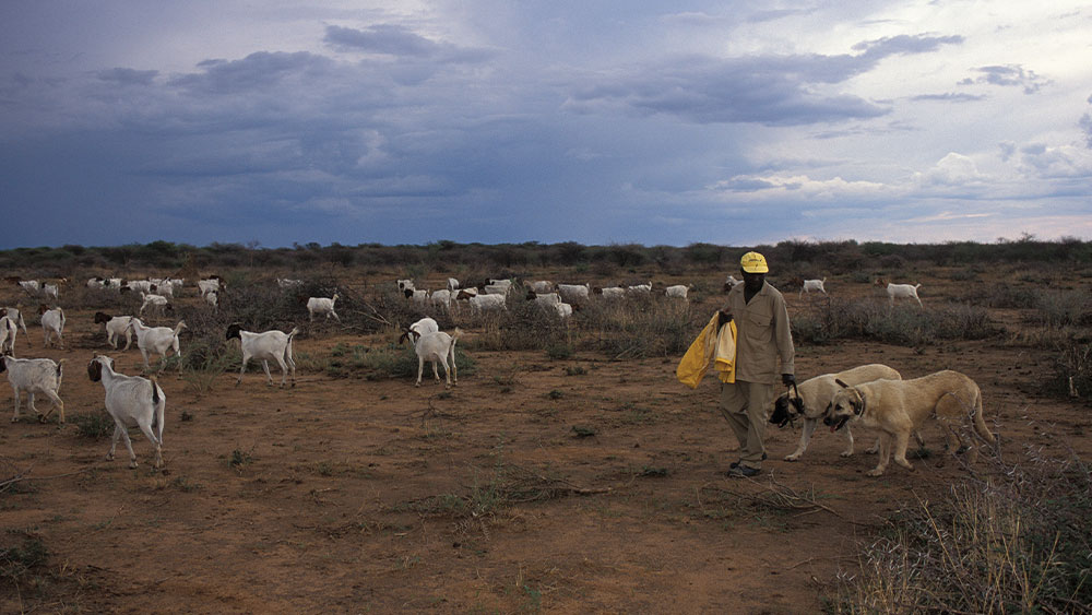 Help Save Cheetahs with Livestock Guarding Dogs