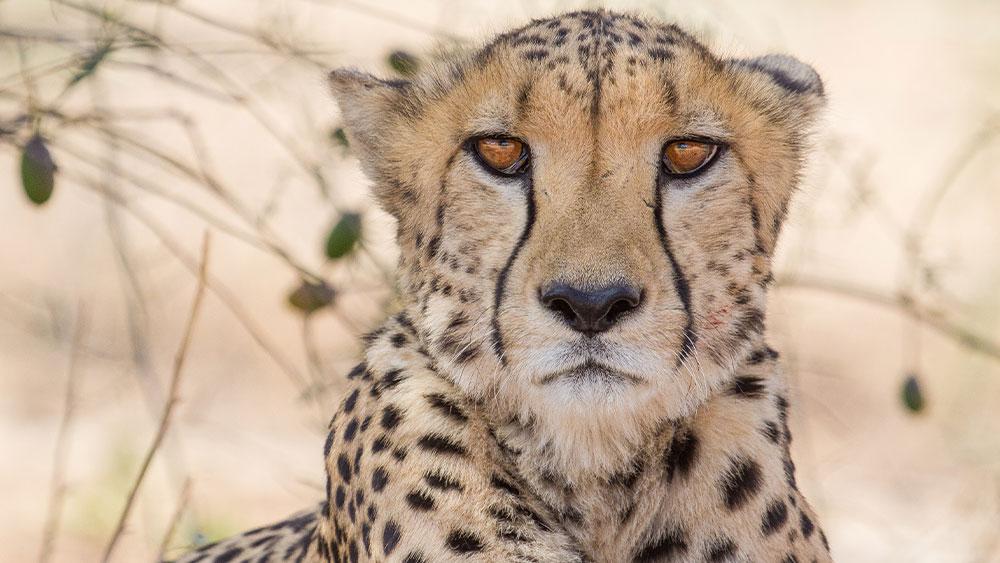 Eulogy for Resident Cheetah B2